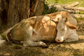 Cattle sleeping under a tree in the mud Royalty Free Stock Photography