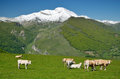 Cattle in the spring pyrenees several cows feed on grassy pasture background there are slopes forested and peaks covered with Stock Photography
