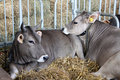 Cattle in stable with fodder Royalty Free Stock Photo