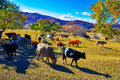 The cattle on the steppe Royalty Free Stock Photo