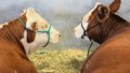 Cattle at Stock Show Royalty Free Stock Photo