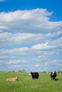 Cattle three cows and blue sky in a field on a sunny day with white puffy clouds the image orientation is vertical there is copy Stock Photography