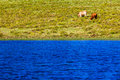 Cattle two lake dam scenic landscape eating green grass near or waters in the mountains photo image over the waters of the tow Royalty Free Stock Image