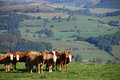 Cattle on a Welsh Farm Royalty Free Stock Photo