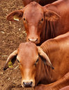 Cattle in Yards Stock Photography
