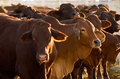 Cattle in yards Royalty Free Stock Photo