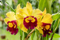 Cattleya yellow queen sirikit at diamond crown Royalty Free Stock Photos