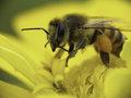 Caucasian Bee collecting pollen. Stock Photography