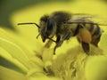 Caucasian Bee Collecting Pollen.