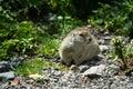 Caucasian Mountain Ground Squirrel
