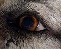 Caucasian sheepdog left eye Royalty Free Stock Photo