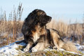 Caucasian Shepherd dog Royalty Free Stock Photo