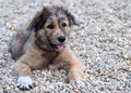 Caucasian shepherd dog image of a puppy on gravel Stock Photography