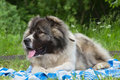 Caucasian shepherd dog lying on a blanket Royalty Free Stock Photo