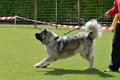 Caucasian shepherd working test in a canine center in spain Stock Photo