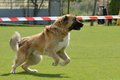 Caucasian shepherd working test in a canine center in spain Royalty Free Stock Photos