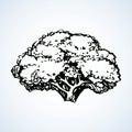 Cauliflower. Vector drawing