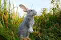 Cautious hare Royalty Free Stock Photo