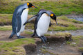 Cautious King Penguins Royalty Free Stock Image
