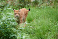 Cautious lynx standing in the grass Royalty Free Stock Photo