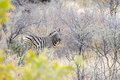 Cautious zebra is hiding into savannah and looking into camera Royalty Free Stock Photo