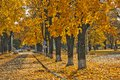 Cautiously a leaf fall yellow autumn in city street Royalty Free Stock Photo