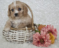 Cavachon Puppy Royalty Free Stock Image