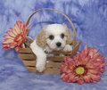 Cavachon Puppy Stock Images
