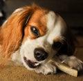 Cavalier Dog Chewing Bone Royalty Free Stock Photo