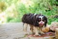 Cavalier king charles spaniel dog drinking water from puddle on the walk in summer garden Royalty Free Stock Photo