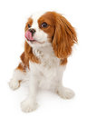 Cavalier King Charles Spaniel Dog Licking Lips Royalty Free Stock Photography