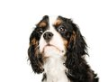 Cavalier king charles spaniel isolated on white background Royalty Free Stock Photography