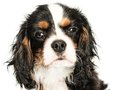 Cavalier king charles spaniel isolated on white background Stock Photography