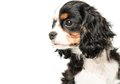 Cavalier king charles spaniel isolated on white background Royalty Free Stock Images
