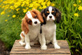 Cavalier king charles spaniel portrait adorable puppies Royalty Free Stock Photography