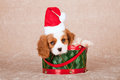 Cavalier king charles spaniel puppy wearing santa cap hat sitting inside green christmas drum with red on beige background Royalty Free Stock Photo