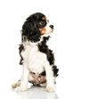 Cavalier king charles spaniel on white background Royalty Free Stock Photography