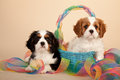 Cavalier King Charles Spaniels Royalty Free Stock Images
