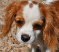Cavalier Puppy Stock Photography