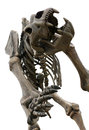 Cave bear skeleton prehistoric Royalty Free Stock Photo
