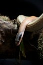 Cave racer on log with head down Stock Images