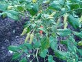 Cayenne plants that bear a lot of fruit and grow well on a fertile ground Royalty Free Stock Photo
