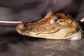 Cayman in Costa Rica. The head of a crocodile (alligator) closeup. Royalty Free Stock Photo