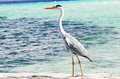 CBlack-headed Heron Royalty Free Stock Photo