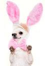 Cchihuahua dog in a costume of easter hare chihuahua with bow tie isolated Royalty Free Stock Photo