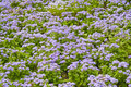 Ceanothus plant Royalty Free Stock Photography