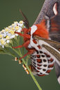 Cecropia moth laying eggs Stock Images
