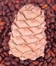 Cedar cone Royalty Free Stock Image