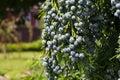 Cedar Cypress Leyland With Blue Pine Cones Royalty Free Stock Photo