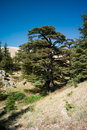 Cedar forest of bcharri mount lebanon cedrus libani is a native tree lebanon aka as the god Stock Photo